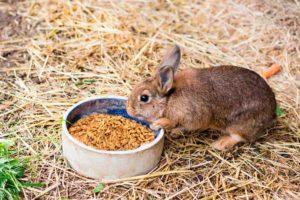 ¿Es posible y cómo dar trigo adecuadamente a los conejos, daños y contraindicaciones?