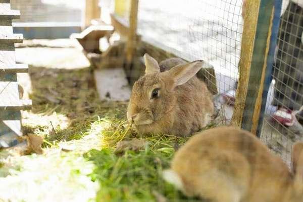 conejo para carne
