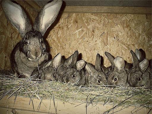 muchos conejos