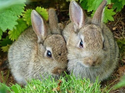 conejos para matanza