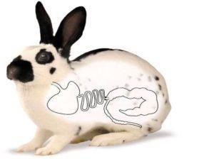 Causas y tratamiento de la hinchazón en conejos, medicamentos y remedios caseros.