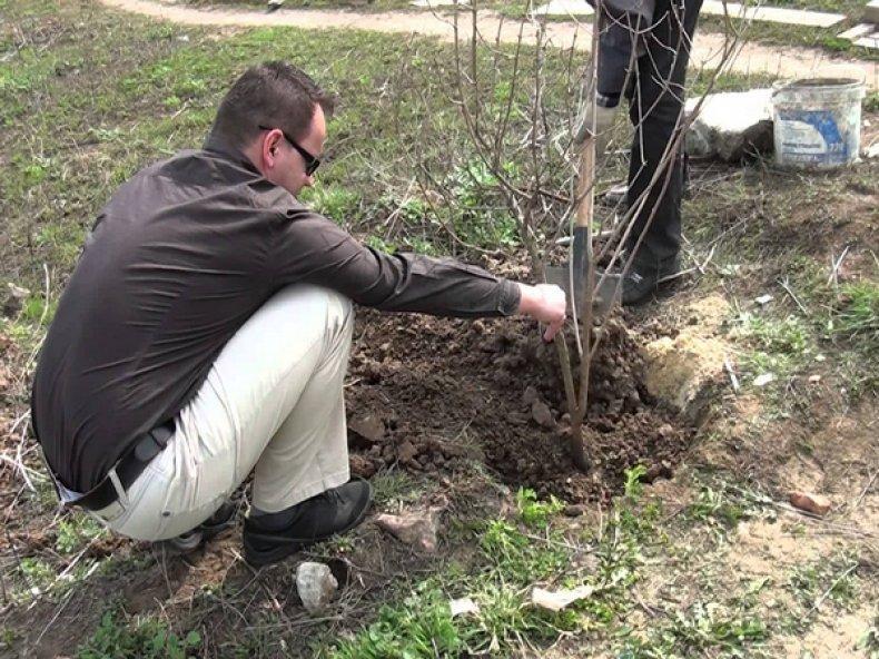 plantar un arbusto