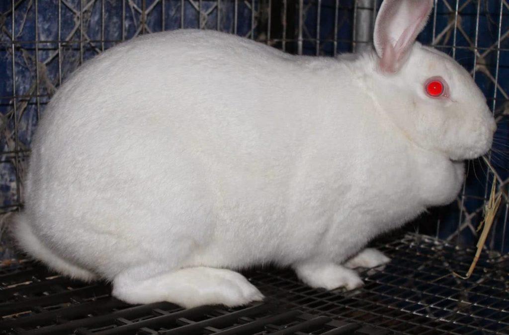 conejo embarazada