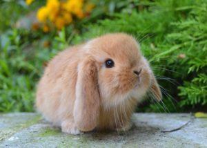 Mantenimiento y cuidado de un conejo decorativo en casa para principiantes.