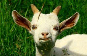 Síntomas y tratamiento del prolapso del útero y la vagina en una cabra, posibles consecuencias.