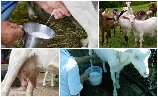 Lo que necesita para alimentar a una cabra para aumentar la producción de leche, métodos en el hogar.