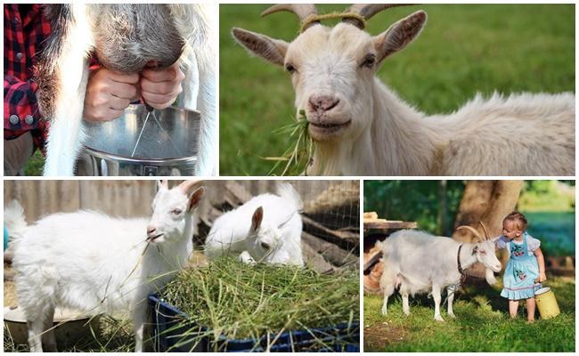 comer cabra