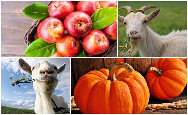 alimentar cabras
