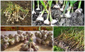 Când este mai bine și cum se recoltează corect usturoiul în 2020 și cele mai bune 7 metode de depozitare