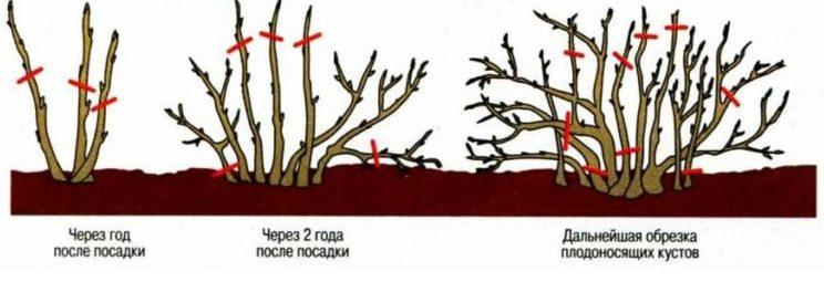 poda de viburnum
