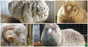 A merinó juh tulajdonságai és ki tenyésztették őket, mi ismert és tenyésztés