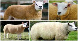 Descripción y características del ovino Texel, condiciones de alojamiento y cuidados