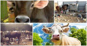 Ce să facem dacă o vacă a mâncat o pungă de plastic și pericol posibil