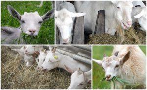 Lo mejor para alimentar a la cabra en casa para que haya más leche.