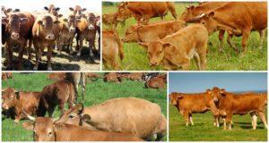 A tehenek legeltetésére vonatkozó szabályok és azok megengedésének módja, amikor legeltetik őket