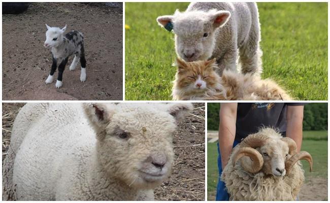 mouton nain