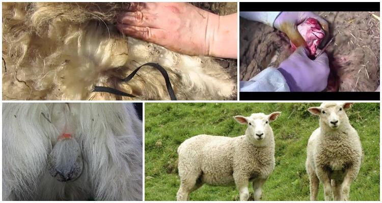 Elastificación de carneros