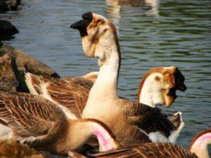 Beschrijving en kenmerken van Afrikaanse ganzen, fokregels