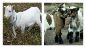 Cuánto tiempo se crían las cabras para obtener carne, edad para la castración de los cabritos