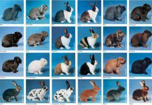 Reglas para la cría y crianza de conejos en Siberia, la elección de la raza y qué alimentar.