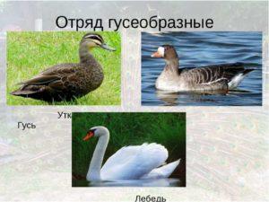 ¿En qué se diferencian exactamente los cisnes de los gansos, descripción y características de las aves?