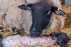 ¿Qué se puede y qué no se puede alimentar a las ovejas después del parto y la frecuencia de las comidas?