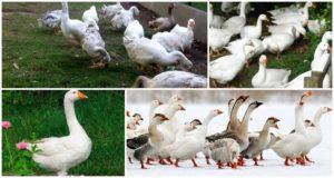 Beschrijving en kenmerken van ganzen van het Italiaanse ras, fokregels