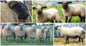 Descripción y características de las ovejas de Hampshire, reglas de mantenimiento.