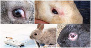 Por qué los conejos pueden tener los ojos llorosos y cómo tratarlos en casa.
