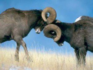 Por que los carneros se tocan a veces, que hacer y como destetarlos