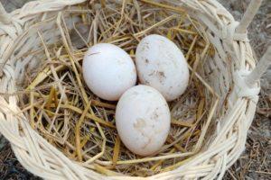Câte ouă pot fi puse sub indoctuka și va supraviețui ambreiajul altor păsări