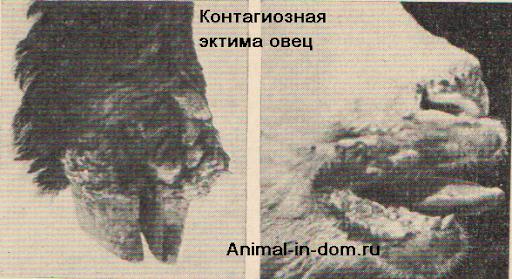 juhok fertőző ecthyma